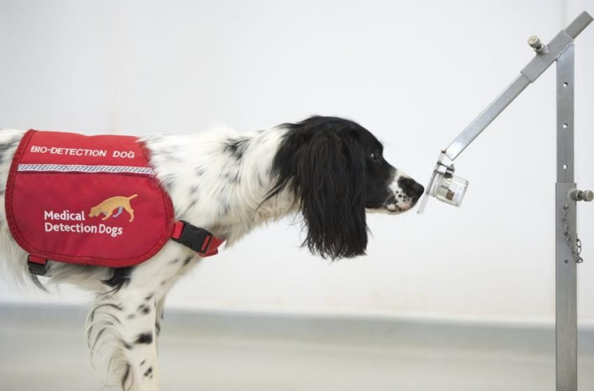 Sniffer Dogs Learn to Detect COVID-19